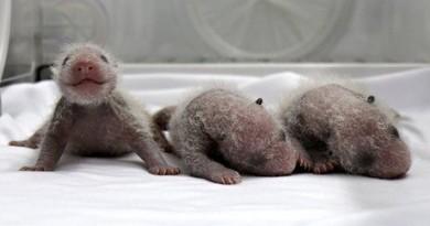 3 pandas recién nacidos